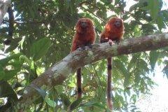 Golden-Lion-Tamarin-Monkeys